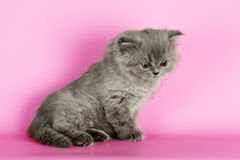 Cute kitten breed Selkirk Rex gray color on pink background in S Royalty Free Stock Photo