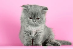 Cute kitten breed Selkirk Rex gray color on pink background in S Stock Images