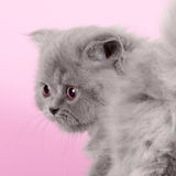 Cute kitten breed Selkirk Rex gray color on pink background in S Royalty Free Stock Photos