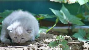Cute kitten British Shorthair in the garden stock video