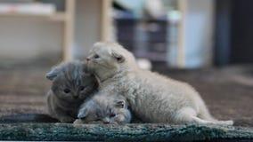 Cute kitten British Shorthair in livingroom stock video footage