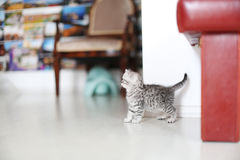 Cute kitten British Shorthair in livingroom Royalty Free Stock Photography