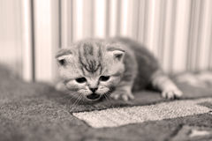 Cute kitten British Shorthair Royalty Free Stock Images