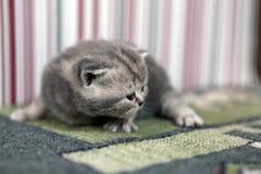 Cute kitten British Shorthair Royalty Free Stock Photo
