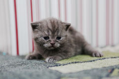Cute kitten British Shorthair Royalty Free Stock Image