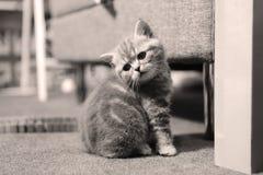 Cute kitten British Shorthair Royalty Free Stock Photos