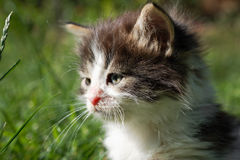 Cute kitten with bushy hair Stock Photography