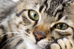 The Cute kitten cat. The cute cat, felines. In the house cat stock images