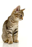 Cute kitten. Royalty Free Stock Photography