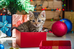 Cute kitten in christmas. Close up of cute brown tabby persian kitten play and looking for gift in christmas day Stock Images