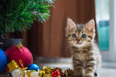 Cute kitten in christmas. Close up of brown tabby persian kitten sit and looking for gift in christmas day Royalty Free Stock Images