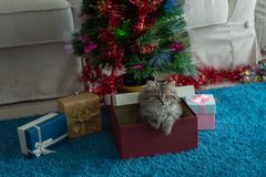 Cute kitten in christmas royalty free stock image