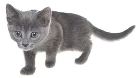 Cute kitten crawling sneaking isolated. On a white background Royalty Free Stock Photos