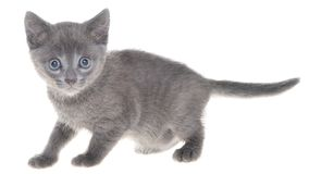 Cute kitten crawling sneaking isolated. On a white background Royalty Free Stock Image