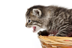 Cute kitten crying Stock Image