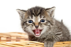 Cute kitten crying Stock Photo