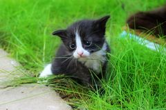 Cute kitten does the first steps on the grass. Stock Photo