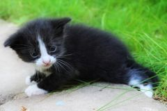 Cute kitten does the first steps Royalty Free Stock Photography