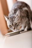 Cute kitten drinking milk Royalty Free Stock Photos