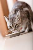 Cute kitten drinking milk Royalty Free Stock Photos