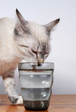 Cute kitten drinking Royalty Free Stock Image