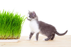 Cute kitten eating the grass Stock Photography