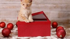 Cute kitten emerge from xmas present box and start playing stock video footage