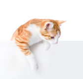 Cute kitten with empty board. Royalty Free Stock Image