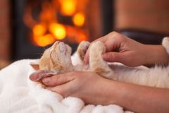 Cute kitten enhoy petting from owner - lying in woman hands, shallow depth stock photography