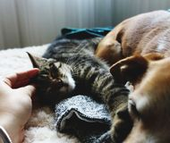 Relaxed dog and cat on sofa being petted. royalty free stock photography