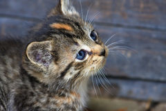 Cute Kitten Face Royalty Free Stock Image