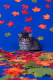 Cute kitten and fall leaves Royalty Free Stock Image