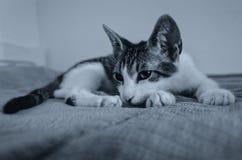 Cute kitten falling asleep Royalty Free Stock Images