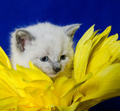 Cute kitten and flower petals Royalty Free Stock Image