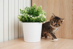 Cute kitten with flowerpot. Cute little kitten with flowerpot at home Stock Photography