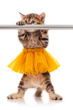 Cute kitten. Cute fluffy kitten dressed in the tutu posing near ballet barre over white background Stock Photography