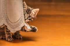 Cute kitten gray waving paw. Royalty Free Stock Photos