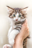 Cute kitten with green eyes. Charming kitten on a womans hands isolated on white Royalty Free Stock Photography