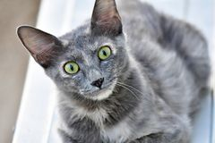 Cute Kitten, grey color and green eyes cat is looking in the camera. Looking at camera this green eyed cat is so cure and adorable. Pet lovers and cat lovers royalty free stock photos