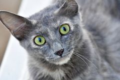 Cute Kitten, grey color and green eyes cat is looking in the camera. Looking at camera this green eyed cat is so cure and adorable. Pet lovers and cat lovers stock image