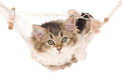 Cute kitten in hammock on white background. Pretty kitten lying in miniature white hammock, on white background royalty free stock images