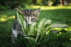 Cute kitten hiding in the flowers.  royalty free stock photography