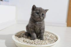 Cute kitten in his litter. British Shorthair kitten sitting in her litter sand tray for cat, indoor pet stock images