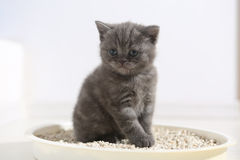 Cute kitten in his litter. British Shorthair kitten sitting in her litter sand tray for cat, indoor pet royalty free stock photo