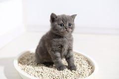 Cute kitten in his litter. British Shorthair kitten sitting in her litter sand tray for cat, indoor pet stock photos