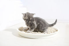 Cute kitten in his litter. British Shorthair kitten sitting in her litter sand tray for cat, indoor pet Stock Photo