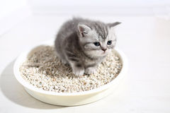 Cute kitten in his litter. British Shorthair kitten sitting in her litter sand tray for cat, indoor pet royalty free stock images