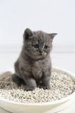 Cute kitten in his litter. British Shorthair kitten sitting in her litter sand tray for cat, indoor pet Royalty Free Stock Photos