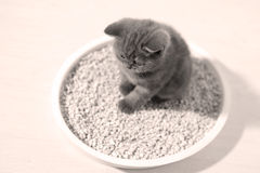 Cute kitten in his litter. British Shorthair kitten sitting in her litter sand tray for cat, indoor pet, view from above stock image