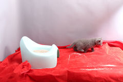Cute kitten and his potty litter Royalty Free Stock Image